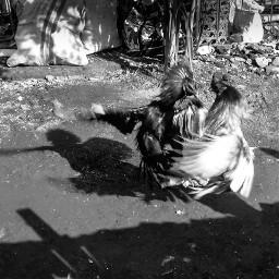 photography black & white blackandwhite indonesia pets & animals